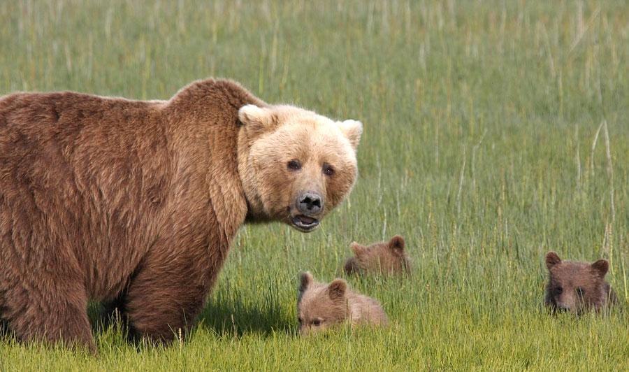 Bärenmutter mit Jungen